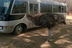 A-female-ostrich